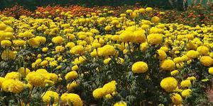 茶花鳳仙的養殖方法和注意事項